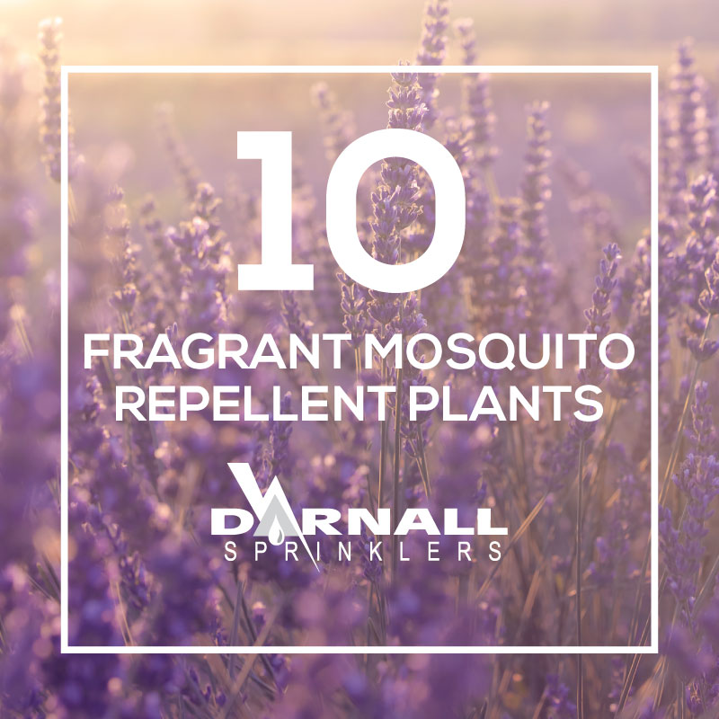 Mosquito-Repellent-Plants